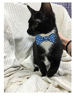 Domestic Shorthair Kitten for adoption in Paducah, Kentucky - Smackey