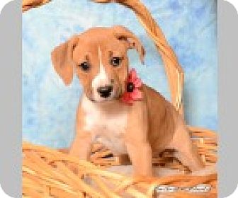 Boxer/Labrador Retriever Mix Puppy for adoption in Pittsboro, North Carolina - Orla