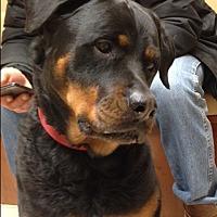 Adopt A Pet :: Saige - Caledon, ON