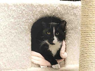 Domestic Mediumhair Cat for adoption in Hampton Bays, New York - ALEX