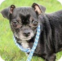 Chihuahua Mix Dog for adoption in AUSTIN, Texas - ORVILLE