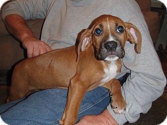 Boxer/Labrador Retriever Mix Puppy for adoption in Bedford, Virginia - Champ