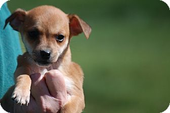 Jack Russell Terrier/Chihuahua Mix Puppy for adoption in Providence, Rhode Island - Demi