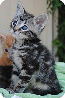 Domestic Shorthair Kitten for adoption in Palmdale, California - Weezer