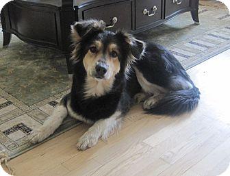 Collie/Shepherd (Unknown Type) Mix Dog for adoption in Rigaud, Quebec - Stella