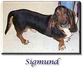 Basset Hound Dog for adoption in Marietta, Georgia - Sigmund