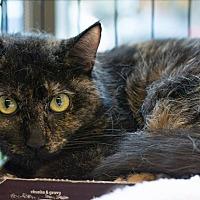 Domestic Shorthair Cat for adoption in New York, New York - Aloisia