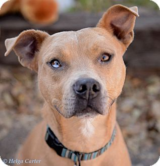 American Staffordshire Terrier Mix Dog for adoption in Corrales, New Mexico - Baxter