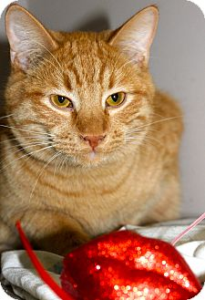 Domestic Shorthair Cat for adoption in Buffalo, Wyoming - Odie