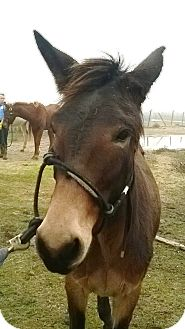 Donkey/Mule/Burro/Hinny Mix for adoption in Hitchcock, Texas - Beatrix