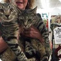 Domestic Shorthair Kitten for adoption in Bear, Delaware - William and Kate