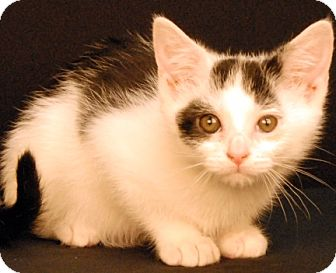 Domestic Shorthair Kitten for adoption in Newland, North Carolina - Frost