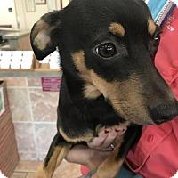 Adopt A Pet :: Comet - Albany, NY