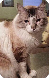 Domestic Mediumhair Cat for adoption in Mesa, Arizona - Jerry