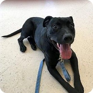 Labrador Retriever Mix Dog for adoption in Janesville, Wisconsin - Tango