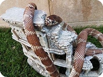 Snake for adoption in Santa Clarita, California - Admiral Slithers