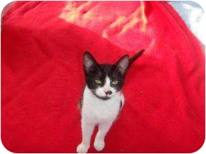 Domestic Shorthair Cat for adoption in Montreal, Quebec - Star