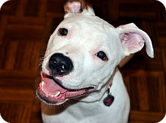 American Pit Bull Terrier/American Bulldog Mix Puppy for adoption in Houston, Texas - Boo