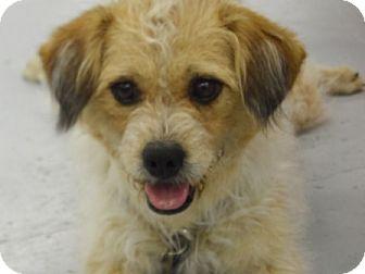 Border Terrier Mix Dog for adoption in Lockhart, Texas - Amazing Gracie