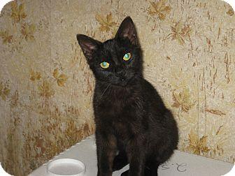 Domestic Shorthair Kitten for adoption in london, Ontario - Mannie