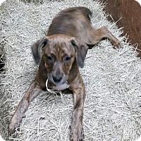 Adopt A Pet :: Bindi - Wilmington, DE
