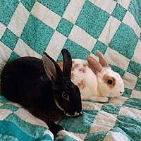 Mini Rex for adoption in Erie, Pennsylvania - Bean