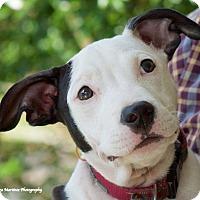 Adopt A Pet :: Polly - Knoxville, TN