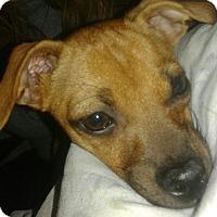 Adopt A Pet :: Lana - Lodi, CA