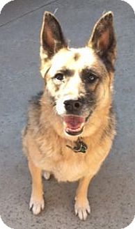 German Shepherd Dog Dog for adoption in Canoga Park, California - Maya