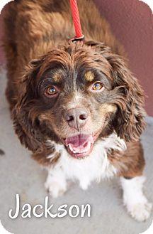 Cocker Spaniel Mix Dog for adoption in DFW, Texas - Jackson