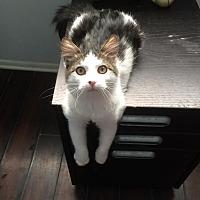 Domestic Mediumhair Cat for adoption in Los Angeles, California - Korey