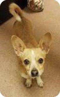 Chihuahua Mix Dog for adoption in Columbus, Georgia - Clara 3475