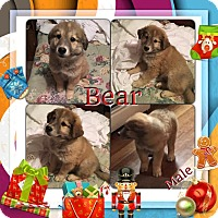 Adopt A Pet :: Bear-pending adoption - Manchester, CT