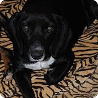 Adopt A Pet :: Ebony - Crowley, LA