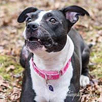 Adopt A Pet :: Tootsie - Acushnet, MA