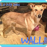 German Shepherd Dog Mix Dog for adoption in Halifax, Nova Scotia - WALLIE