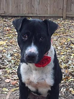 Pit Bull Terrier/American Staffordshire Terrier Mix Dog for adoption in Memphis, Tennessee - Faith~GREAT with CHILDREN!!!