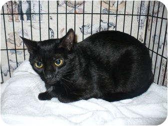 Domestic Shorthair Cat for adoption in Colmar, Pennsylvania - Blueberry