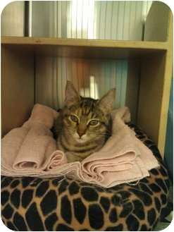 Domestic Shorthair Cat for adoption in Greenville, South Carolina - Tabitha