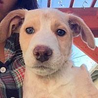 Labrador Retriever Mix Puppy for adoption in Long Beach, California - Eli