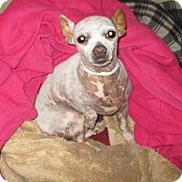 Adopt A Pet :: PORTIA DeChihuahua - Valley Village, CA