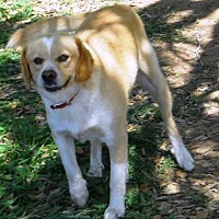 Cavalier King Charles Spaniel Mix Dog for adoption in San antonio, Texas - Big Bob JR