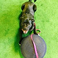 Adopt A Pet :: Brooke D151124 - Eden Prairie, MN