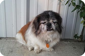 Shih Tzu Mix Dog for adoption in Union City, Tennessee - Weston