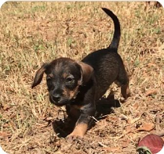 Poodle (Toy or Tea Cup)/Yorkie, Yorkshire Terrier Mix Puppy for adoption in Sylacauga, Alabama - Bert