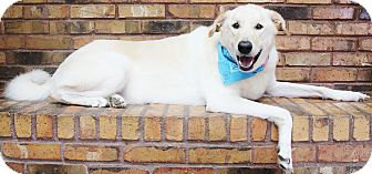 Retriever (Unknown Type)/Great Pyrenees Mix Dog for adoption in Benbrook, Texas - Benny