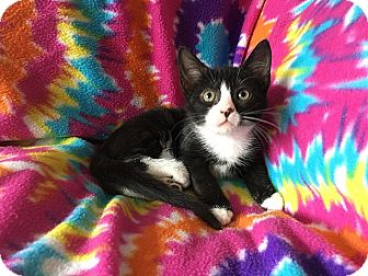 Domestic Shorthair Kitten for adoption in Tampa, Florida - Alice