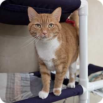Domestic Shorthair Cat for adoption in Wilmington, Delaware - Orange Girl