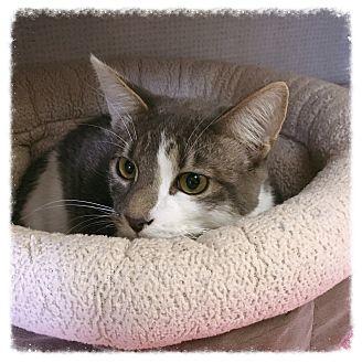 Domestic Mediumhair Cat for adoption in Los Alamitos, California - Mario