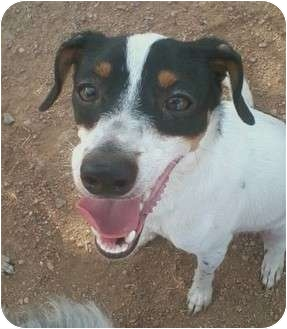 Dachshund/Chihuahua Mix Dog for adoption in Houston, Texas - SUNNY